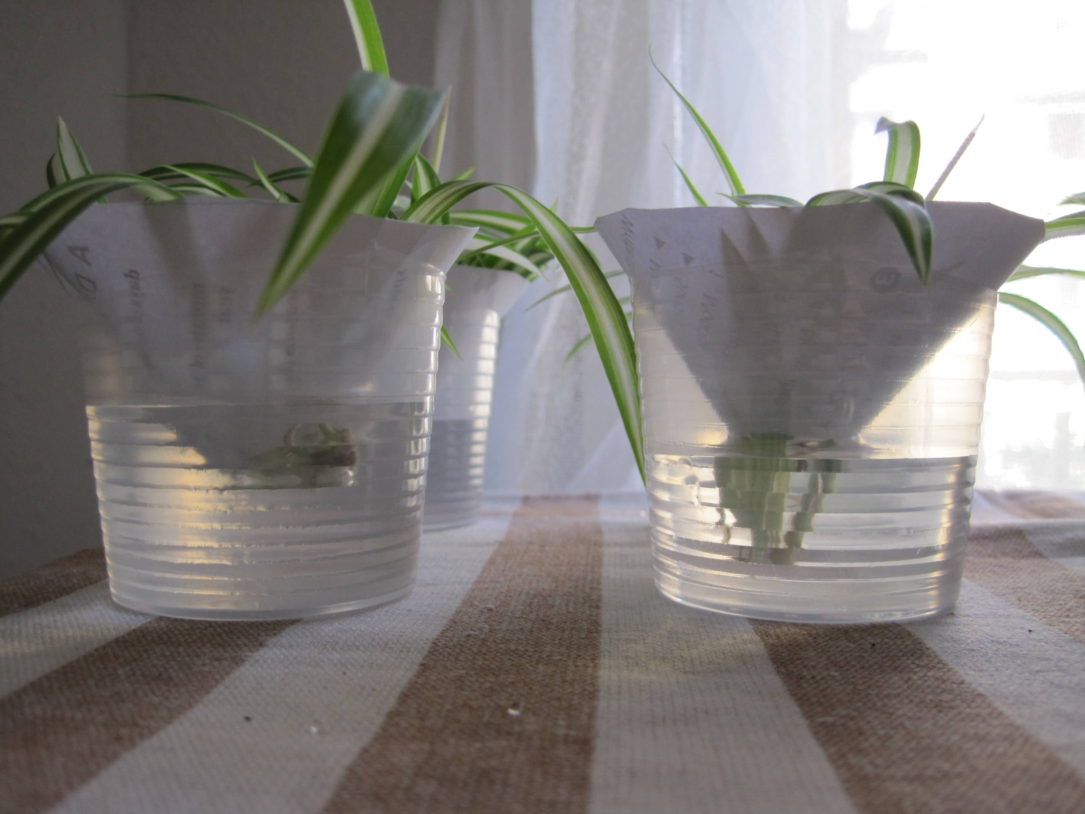 Spider plants hungarian housekeeping anyway the spider plants are currently sitting in water waiting for their roots to grow out a bit after only two days you can already see some growth reviewsmspy